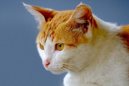 poner atencion: Gato lindo que mira en la parte delantera, prestar atención a algo de curiosidad Foto de archivo