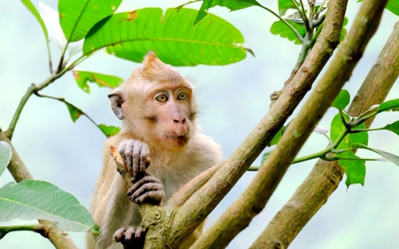 sit down: This is Long-tailed macaques, sit down in tree and watching or see something, something interesting, or maybe other monkey