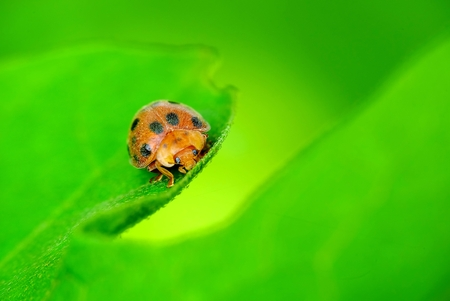 Ladybugs peek from foliage, looking embarrassed to show itself