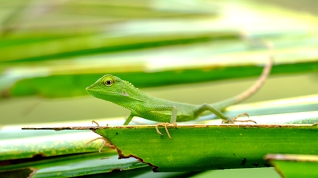 Bronchocela Jubata In The Wild, This is Bronchocela jubata, found mainly in indonesia. The locals call it Bunglon or Londok, the englis name is maned forest lizard. They have characteristic similar to chameleon, But with slimmer body and have eyes more