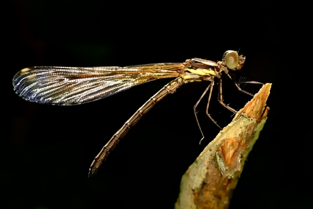Sharp sideview images of brown damselfly perching on stick Stock Photo