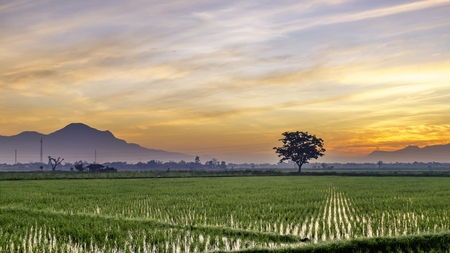 expansive: Very vast, broad, extensive, spacious rice field, streched into the horizon.  Behind it is a line of hills and mountains that also expansive. Lonely tree in far away.  Beautiful cloud and red sky. This photo captured at sunrise