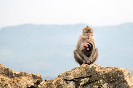 poner atencion: monos sentados en una roca, mientras sostiene a su hijo de cola larga. Sus ojos de observación, algo que presten atención a algo en la distancia. Foto de archivo