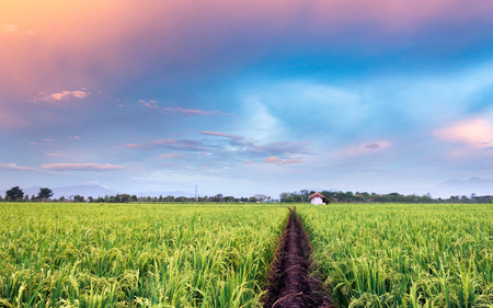 extensive: Very vast, broad, extensive, spacious rice field, streched into the horizon. And also hut in the middle of rice field.  Behind it is a line of hills and mountains that also expansive, and beautiful and colorful sky. This photo captured at sunset, captured