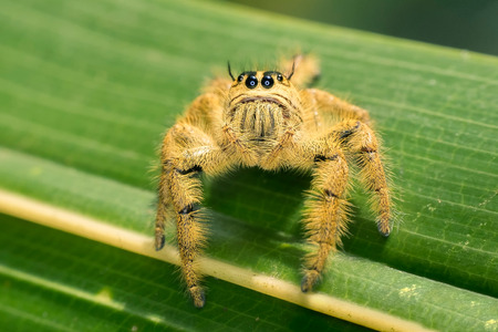 arachnoid: Cute yellow spider, sitting in a leaf,  looking at the camera