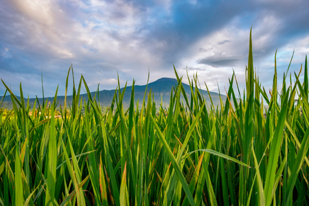 Green grass freshen the morning of mountain areas. A morning in Indonesia. Captured in purwokerto, Indonesia Stock Photo
