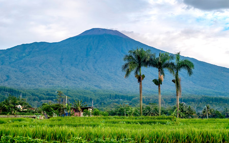 Rows of palm tree in the front of big mountain, captured from the middle of ricefield. This is Slamet mountain, in purwokerto, Central Java, Indonesia