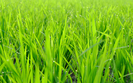 Beautiful green rice plant, in rice field. The plant is still young and look like group of grasses. Stock Photo