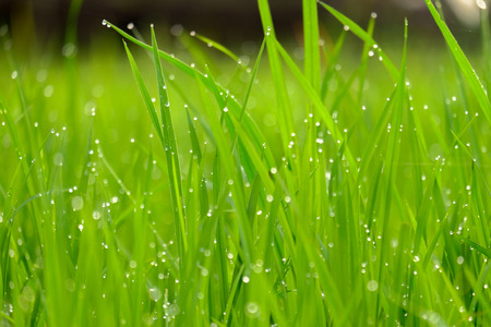 gorgeous green grass with water drops in the morning, photographed at close range Stock Photo