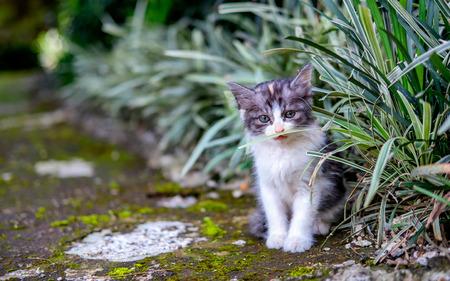 茂みの近くの正面を見て恥ずかしそうに、おずおずと、かわいい白と茶色の猫