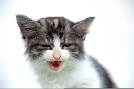Cute white and brown cat, laughing so hard with eye closed
