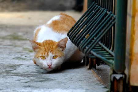 Yellow and cute Cat in alert position, trying hide it self , while watching its enemy cautiously