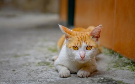 座って、猫の日に慎重な表現で、正面を見て、敵を見るよう
