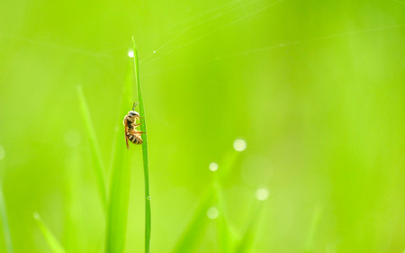 Bee calmy perching on grass at morning, getting ready to start morning activity, finding food for its colony