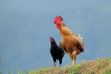 sharply: Two chicken, red rooster and black hen walking majesticaly and looking sharply to the camera
