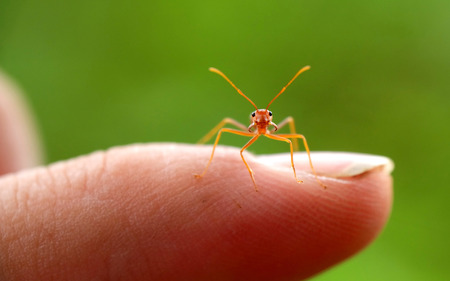 tiny and cute red ant standing in humans index finger. Pay attention to the camera