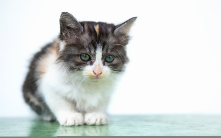 Cute white and brown cat, sit down calmly, looking at front