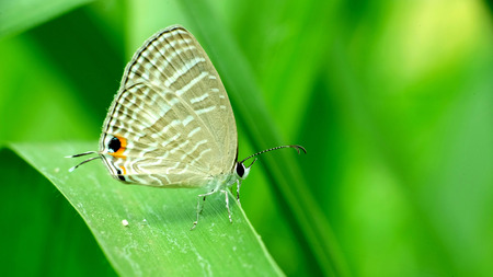 Gray butterfly perching on leaf Stock Photo