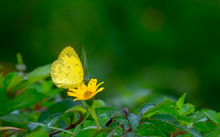 Yellow butterfly perching on yellow flower