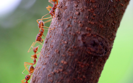 Tiny cute red ant in group, walking in tree branch and one of them seeing at the camera