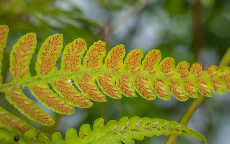 シダの葉、黄色の胞子コンテナーを表示の裏側