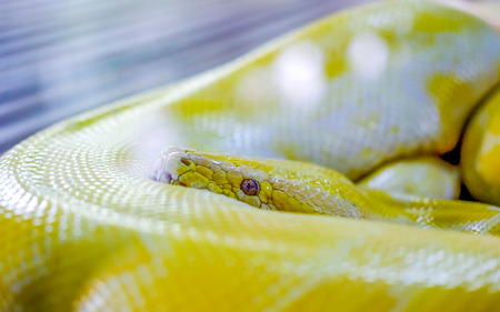 Beautiful yellow colored snake, wrapping its body, with head on top, looking at the camera with scary look