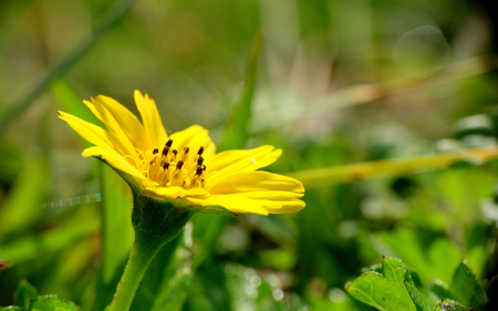Beautiful yellow flower, captured from the side, shows group of leaf, green petal and bright yellow flower's corolla Standard-Bild