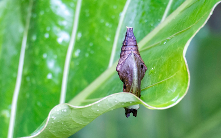 Brown cocoon in green leaf Stock Photo