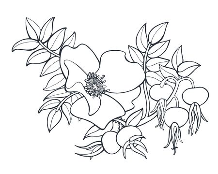 Rose hip flower and berries black and white vector ink illustration isolated on white background
