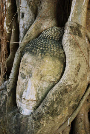 imbedded: A statue of Buddha�s head that has been imbedded in a tree over time, located in Ayutthaya, Thailand.