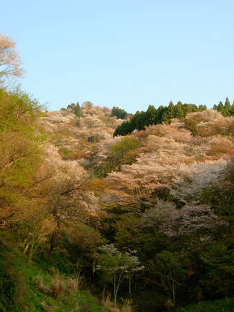 Cherry blossoms on a hilside in Yoshino, a famous spot for flower viewing