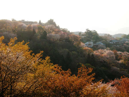 Cherry blossoms along a ridge in Yoshino, a famous spot for flower viewing