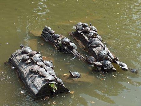 colony: Turtle colony Stock Photo