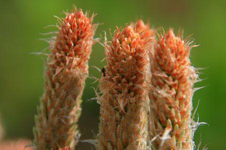 pinecones: Young pinecones