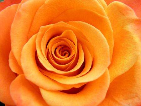 Very nice detail of a orange rose