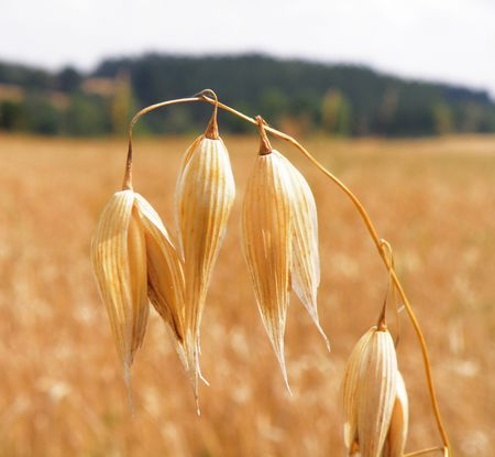 Detail of a cereal field - yellow corn Stock Photo - 5343672