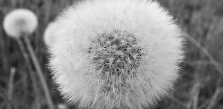 overblown: black and white - nice detail of a dandelion Stock Photo