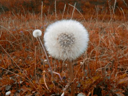 nice detail of a dandelion on abstract background Stock Photo - 5343748