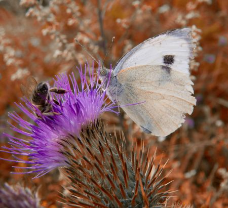 White butterfly and bee picking up nectar from a purple thorn photo