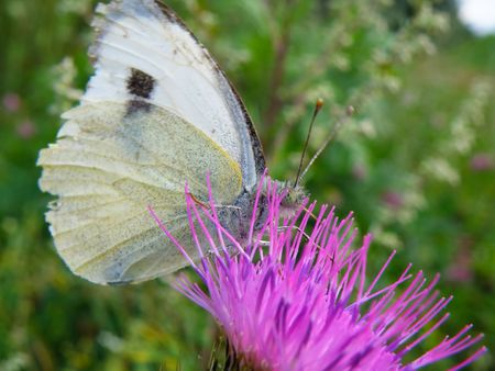 white butterfly on a purle thorn in garden Stock Photo - 5343754