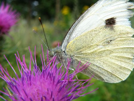 white butterfly on a purle thorn in garden photo