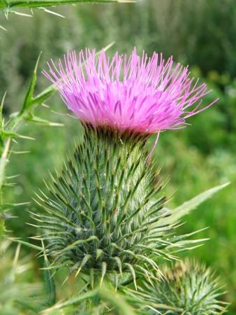 Sommerzeit - schöne Details eines lila Dorn Standard-Bild - 5343753