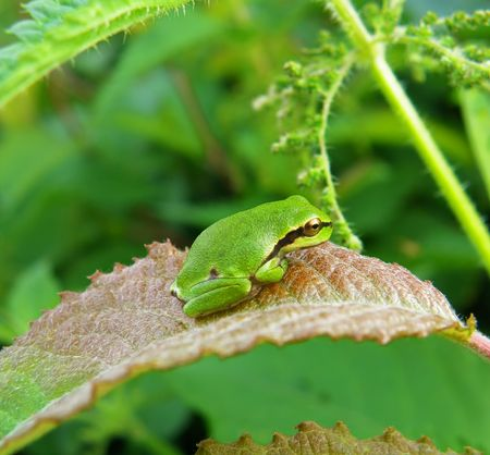 very nice detail of a tree frog sitting on plant Stock Photo - 5343755