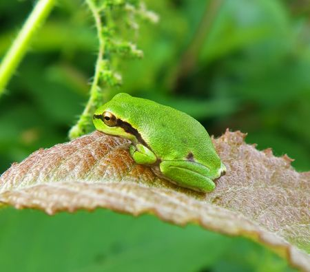 very nice detail of a tree frog sitting on plant Stock Photo - 5343726