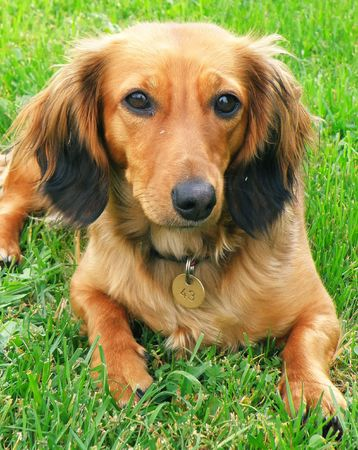Detail of a little nice brown dog - dachshund