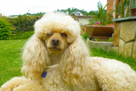 nice detail of poodle sitting on green grass photo