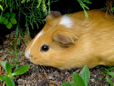 nice little guniea pig in wild nature     Stock Photo - 7274992