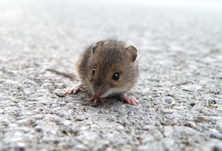 detail of little mouse sitting on high way photo