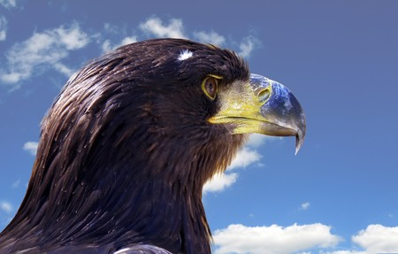 detail of eagle with blue sky in background photo