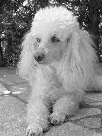 detail of young poodle in summer time photo